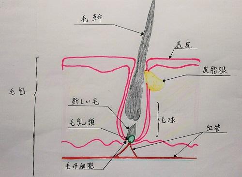 髪の構造図
